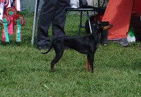 romeo-terrier-utstilling-jevnaker.jpg
